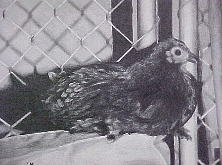 pencil drawing of Miracle Chicken
